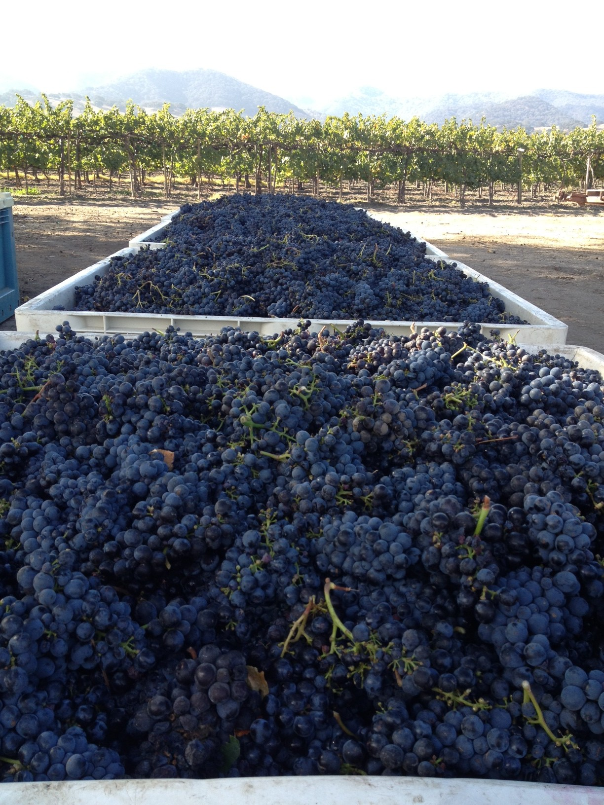 Grapes, fresh of the vines!